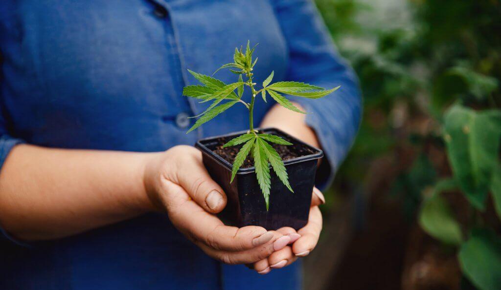 pestovanie marihuany argentina